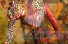 Phát hiện mới về tập tính sinh sản của cá rồng biển