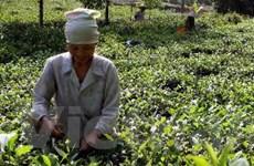 Đẩy mạnh sản xuất chè Việt an toàn, chất lượng cao