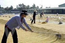 Doanh nghiệp tăng mua đẩy giá lúa tăng mạnh
