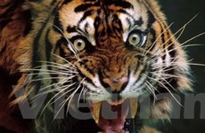 Hổ Ấn Độ nguy cơ bị tiêu diệt trong năm Canh Dần