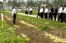 Trồng thâm canh giống khoai tây sạch bệnh