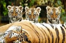 Việt Nam nhiều nỗ lực trong việc bảo tồn loài hổ