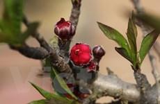 Ngắm cận cảnh giống đào quý hiếm của làng hoa Nhật Tân