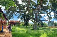 [Photo] Lạ lùng cây đa khổng lồ hai thân của người Thái ở Sơn La