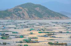 [Photo] Nghề nuôi tôm hùm thương phẩm trên đảo Bình Ba