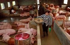 Hà Nội đẩy mạnh khôi phục, phát triển đàn lợn thương phẩm