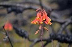Cùng ngắm sự sống hồi sinh sau đám cháy ở nhiều cánh rừng Australia