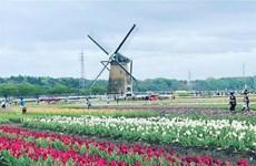 Nhật Bản 'san phẳng' cánh đồng tulip 80.000 bông đang độ nở rộ