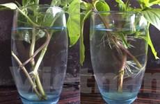 Cách trồng rau húng tại nhà vừa nhanh vừa đơn giản