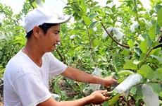 Thu nhập tiền tỷ mỗi năm nhờ trồng ổi Đài Loan trên đất phèn