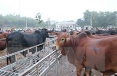 [Photo] Chợ đầu mối trâu bò lớn nhất Đông Nam Á tại Nghệ An