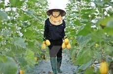 [Photo] Những sản phẩm hấp dẫn của Hợp tác xã rau sạch Yên Dũng