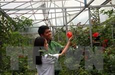 Muôn sắc hoa hồng tỏa hương, níu chân du khách tại Đà Lạt