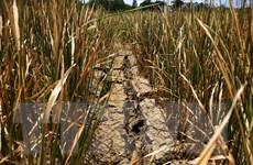 [Photo] Đắk Lắk: Hạn hán kéo dài gây thiệt hại hơn 1.000 ha lúa nước