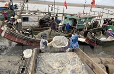 Ngư dân Thanh Hóa rộn ràng bước vào mùa đánh bắt sứa biển