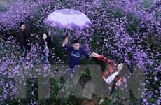 [Photo] Cánh đồng hoa tím Mã Tiền Thảo khoe sắc trong sương mờ Sa Pa