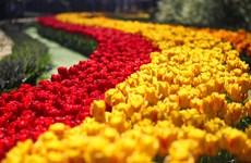 Ngất ngây trước vẻ rực rỡ của rừng hoa trong khu vườn Keukenhof