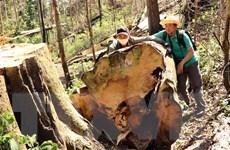 Bạch tùng hàng trăm năm tuổi bị khai thác trái phép bừa bãi trong rừng