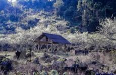 Mộc Châu mùa hoa mận - Điểm đến lý tưởng cho du lịch dịp Tết