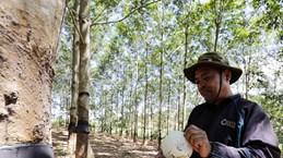 Thái Lan chi 798 triệu USD để trợ cấp cho nông dân trồng cao su