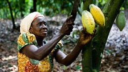 33 công ty cacao hàng đầu thế giới bắt tay giảm nạn phá rừng