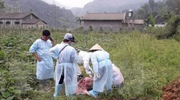 Xuất hiện 11 ổ dịch tả lợn châu Phi tại Cao Bằng trong vòng nửa tháng