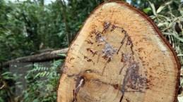 Kon Tum: Phát hiện khối lượng gỗ khai thác trái phép tại xã Đăk Pxi