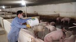 Hưng Yên hỗ trợ hộ chăn nuôi bị ảnh hưởng dịch tả lợn châu Phi