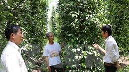 Lại thêm mùa 'đắng' tại 'thủ phủ' hồ tiêu Bình Phước