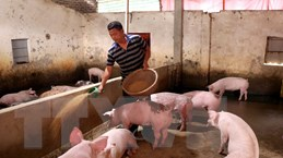 Trên 200 tỷ đồng hỗ trợ hộ chăn nuôi bị thiệt hại do tả lợn châu Phi