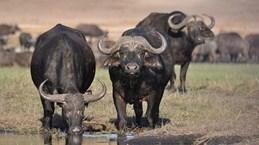 Thảm kịch lớn nhất đối với động vật xảy ra tại Botswana