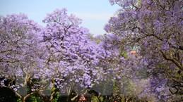 [Photo] Pretoria - thành phố hoa phượng tím của Nam Phi