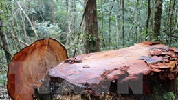 32 gốc cây có đường kính từ 50cm ở rừng Kon Plông bị chặt phá