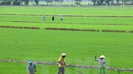 Nghiên cứu 2 giống lúa chịu mặn cho vùng cù lao Tân Phú Đông