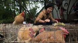 Trung Quốc: Chiết Giang cấm mua bán gia cầm sống vì dịch H7N9