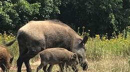 Đức xác nhận trường hợp lợn rừng mắc bệnh tả lợn châu Phi đầu tiên