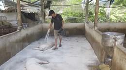 Hà Tĩnh xuất hiện dịch tả lợn châu Phi tại nhiều địa phương