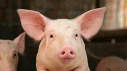 Các nhà khoa học Anh muốn cấy ghép nội tạng của lợn cho người