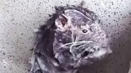 [Video] Cảnh tượng con chuột tắm rửa như người gây sửng sốt