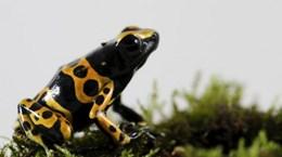 Venezuela: Nhiều loài lưỡng cư bị đẩy đến bờ vực tuyệt chủng