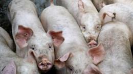 Thái Lan sẽ hạn chế xuất khẩu nếu giá thịt lợn hơi nội địa tăng cao
