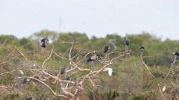 Nhiều loài chim quý hiếm về vườn chim Bạc Liêu cư trú