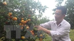 [Photo] Người dân Xuân Hòa rộn ràng vào mùa thu hoạch cam