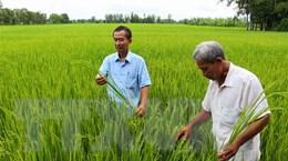 Hậu Giang: Gạo sạch Vị Thủy dần tạo được chỗ đứng trên thị trường