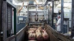 Đức tạm ngừng xuất khẩu thịt lợn ra ngoài EU do dịch tả lợn châu Phi