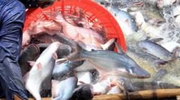 WWF chính thức đưa cá tra ra khỏi danh sách đỏ