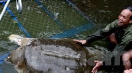 Rùa Hồ Gươm lành bệnh