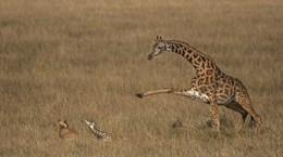 Khoảnh khắc hươu cao cổ mẹ cố gắng bảo vệ con khi bị sư tử tấn công