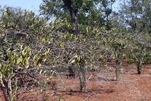 Hơn 7.500ha cây trồng bị mất trắng do hạn hán ở khu vực Tây Nguyên