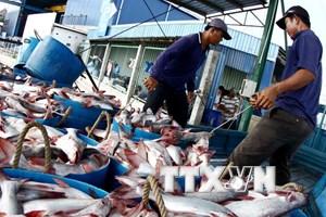 Sản lượng cá tra Đồng bằng sông Cửu Long giảm 7% so với cùng kỳ